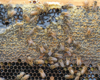 A closeup of a frame displaying honey cells shows bees actively working.