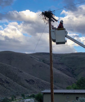 A lineman on a power line that has a nest on it.